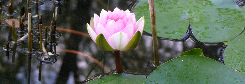 A-Lotus